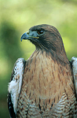 Red Tail Hawk Wall Art - Photograph - Female Red-tailed Hawk by Anthony Cooper/science Photo Library