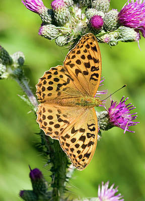 Female Silver-washed Fritillary Art Print by John Devries/science Photo Library