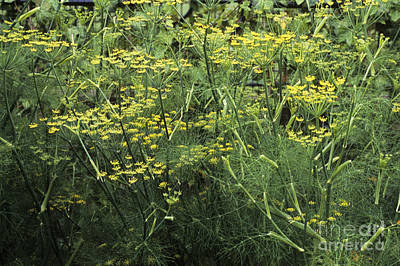 Aniseed Photograph - Fennel Foeniculum Vulgare by Adrian Thomas