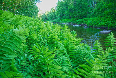 Maine Nature Photograph - Ferns by Alana Ranney