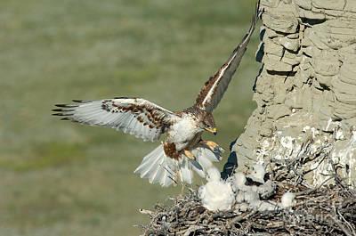 Ferruginous Hawk Photograph - Ferruginous Hawk And Chicks by Anthony Mercieca