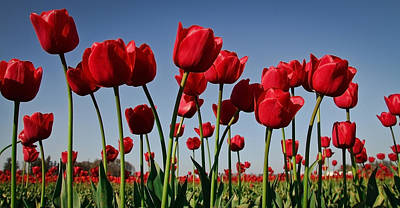 Photograph - Field Of Red Tulips by Athena Mckinzie