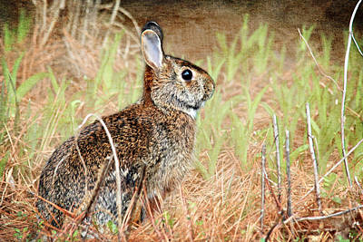 Photograph - Field Rabbit by Trina  Ansel