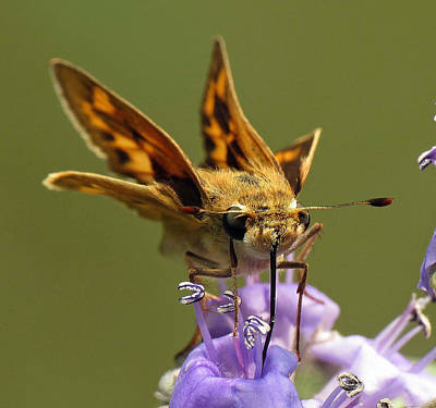 Photograph - Fiery Skipper Butterfly by Walter Klockers