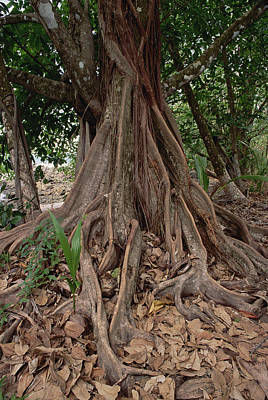 Strangler Fig Photograph - Fig In Tropical Rainforest Costa Rica by Gerry Ellis