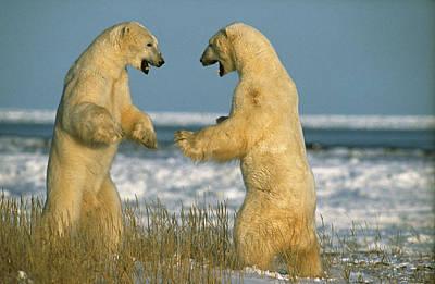 Fighting Polar Bears Art Print