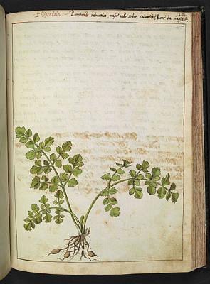 Filipendola Plant Art Print by British Library