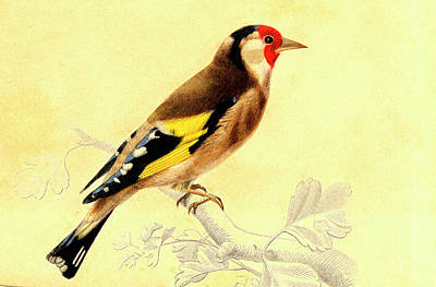 Finches Photograph - Finch by Collection Abecasis