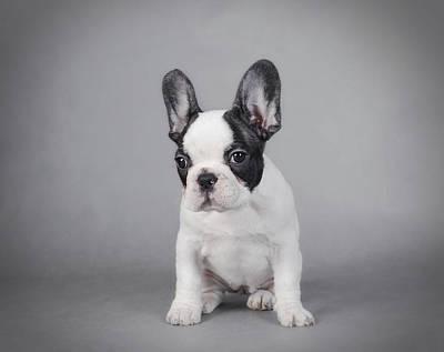 Adorable French Bulldog Puppy Photograph - Fiona - French Bulldog Puppy by Waldek Dabrowski