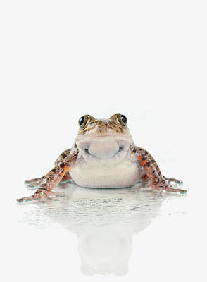 Fire-leg Walking Frog On White Print by Corey Hochachka