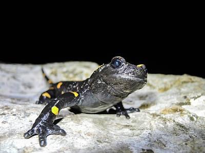 Salamanders Photograph - Fire Salamander (salamandra Salamandra) by Photostock-israel