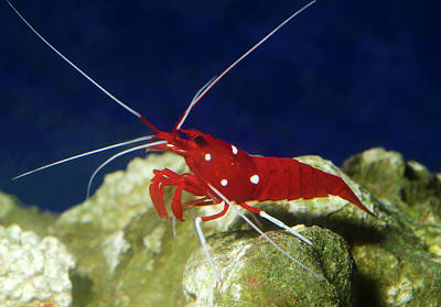 Fire Shrimp Or Scarlet Cleaner Shrimp Art Print by Nigel Downer