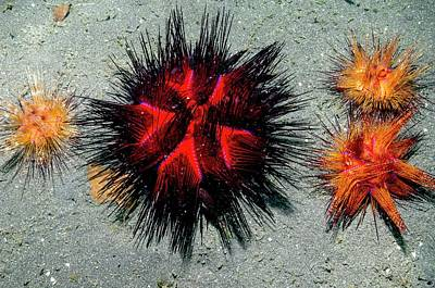 Fire Urchins Art Print by Georgette Douwma