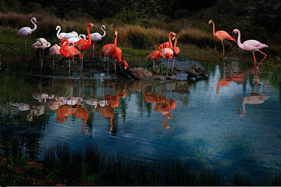 Photograph - Flamingo Convention by Melinda Hughes-Berland