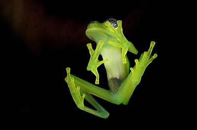 Frog Photograph - Fleischmann's Glass Frog by Andres Morya Hinojosa
