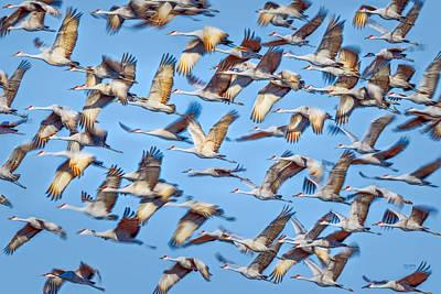 Photograph - Flight Of The Sandhill Cranes by Steven Llorca