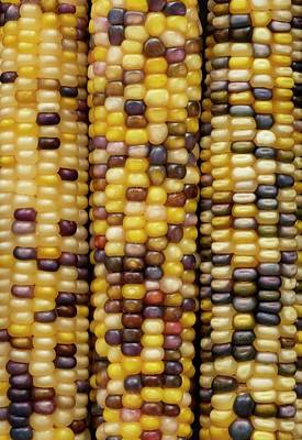 Indian Corn Wall Art - Photograph - Flint Corn by Science Photo Library
