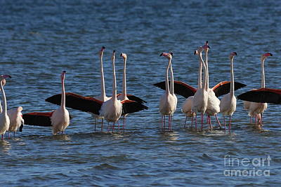 Flock Of Greater Flamingoes  Art Print by Sami Sarkis