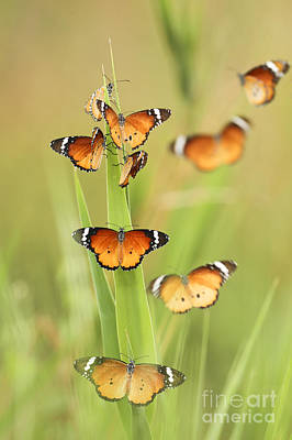 Flock Of Plain Tiger Danaus Chrysippus Art Print by Alon Meir