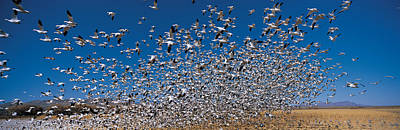 Flock Of Bird Photograph - Flock Of Snow Geese Chen Caerulescens by Panoramic Images