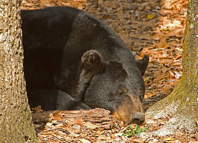 Photograph - Florida Black Bear by Millard H Sharp
