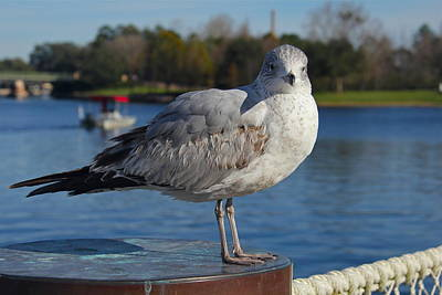 Photograph - Florida Gull by Denise Mazzocco