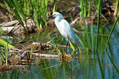 Egretta Thula Photograph - Florida, Immokalee, Snowy Egret Hunting by Bernard Friel