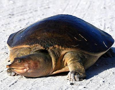 Photograph - Florida Softshelled Turtle by Ira Runyan