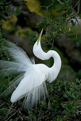 Great Egret Photograph - Florida, St Augustine Great Egret by Jaynes Gallery