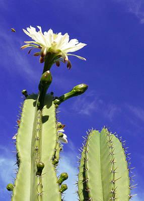Flowering Cactus 2 Art Print