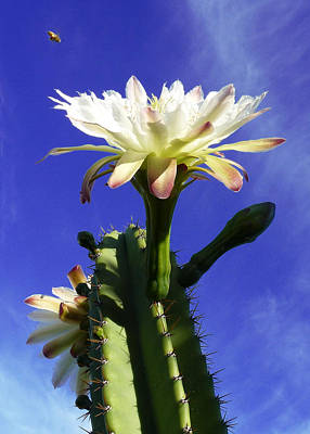 Flowering Cactus 3 Art Print