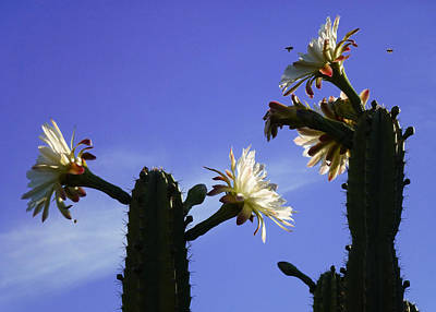 Flowering Cactus 4 Art Print