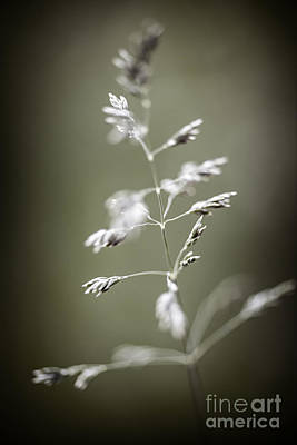 Floret Photograph - Flowering Grass by Elena Elisseeva