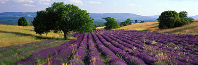Flower Blooms Photograph - Flowers In Field, Lavender Field, La by Panoramic Images