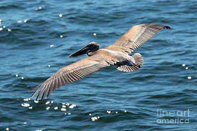 Photograph - Flying Brown Pelican Wings by Carol Groenen