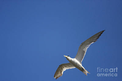 Flying Crested Tern Print by Jorgo Photography - Wall Art Gallery