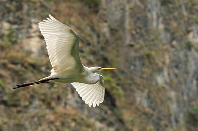 Flying Great Egret Art Print