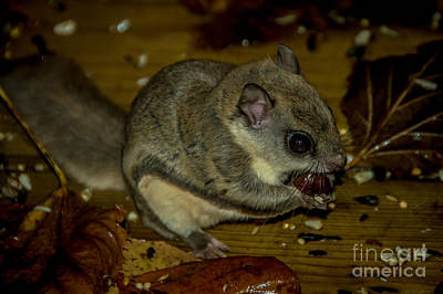 Photograph - Flying Squirrel by Cheryl Baxter