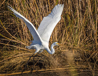 Photograph - Flying White Egret by Gregory Daley  PPSA