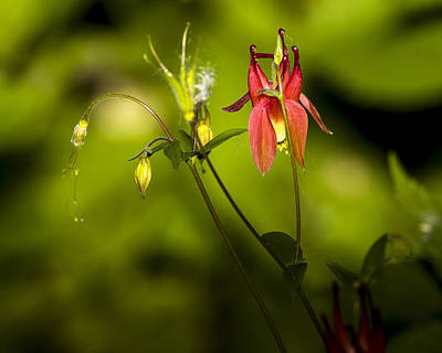 Photograph - Forest Columbine  by Jack R Perry