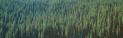 Forest Of Pine Trees, Colorado Art Print by Panoramic Images