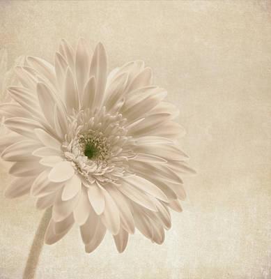 Gerber Daisy Photograph - Forever More by Kim Hojnacki