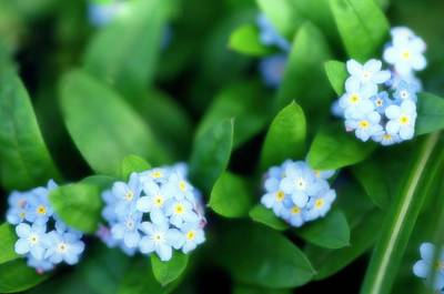 Forget Me Nots Wall Art - Photograph - Forget-me-not (myosotis Arvensis) by Maria Mosolova/science Photo Library