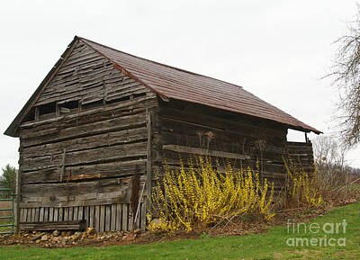 Photograph - Forsythia Shed by Annlynn Ward