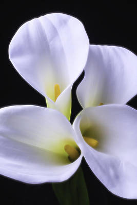 White Flower Photograph - Four Calla Lilies by Garry Gay