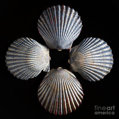 Photograph - Four Shells by Mark Miller