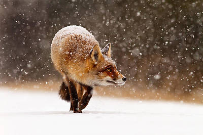 Fox First Snow Art Print by Roeselien Raimond