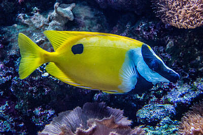 Photograph - Foxface Rabbitfish 1 by Douglas Barnett