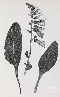 Foxglove, 19th Century Artwork Art Print by Middle Temple Library