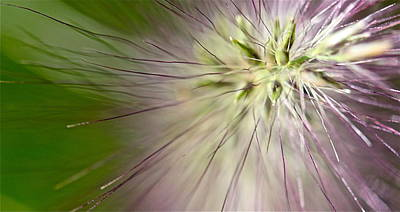 Photograph - Foxtail by Tracy Male